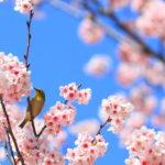 CS60大阪の桜と
